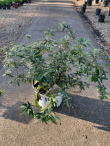 Buddleia Purple Haze Butterfly Bush 3-gal