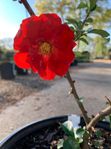Quince Double Take Scarlet Chaenomeles speciosa 2-gal