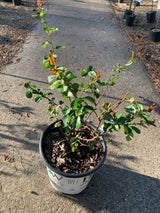 Quince Double Take Pink Chaenomeles speciosa 2-gal