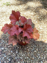 "Heuchera Paprika Coral Bells Perennial 4"" (Out of stock till fall)"