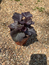 "Heuchera Obsidian Coral Bells Perennial 4"" (Out of stock till fall ... SEE 6"")"