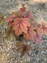 "Heucherella Sweet Tea Coral Bells Perennial 4"" (Out of stock till fall  SEE 6"")"