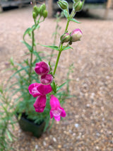 Beard Tongue Penstemon Rock Candy Pink Perennial 4""