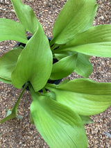 "Hosta Sum and Substance 6"" and 1-gal Perennial"