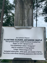 Japanese Maple Floating Cloud 7-gal