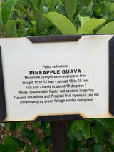 Pineapple Guava 3-gal