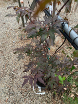 Japanese Maple Emperor I 2-gal