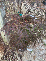 Japanese Maple Crimson Queen 2-gal