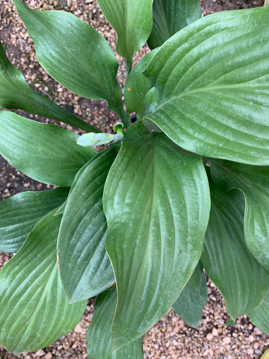 Hosta Krossa Regal 6