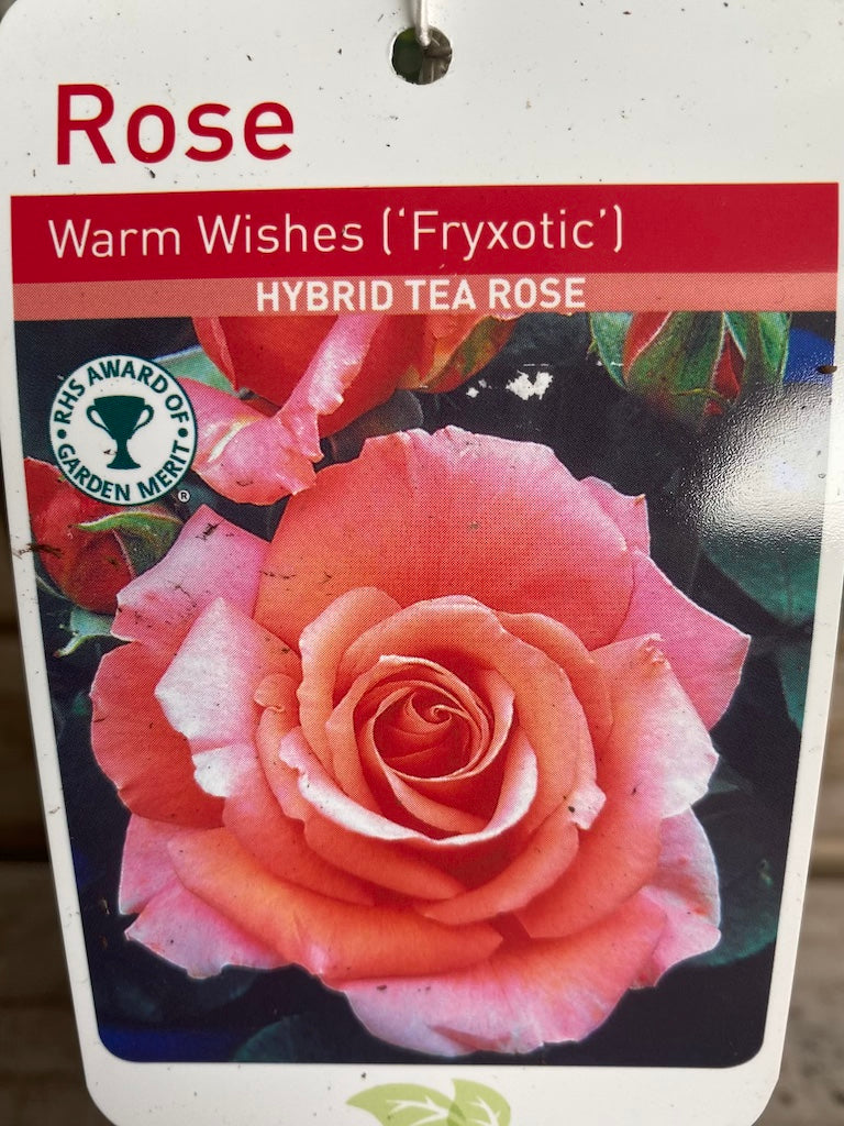 "Rose ""Warm Wishes"""