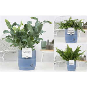 Ferns Arrangement - Blue - 35cm