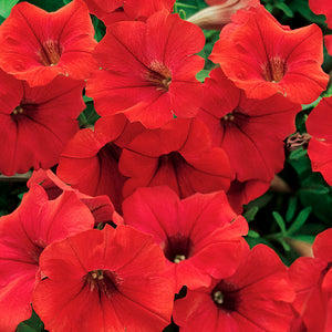 Trailing Petunia - Deep Red