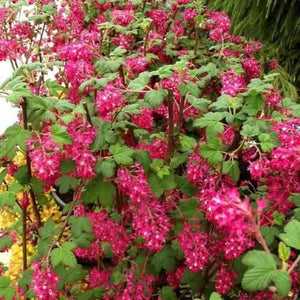 Flowering Currant King Edward VII