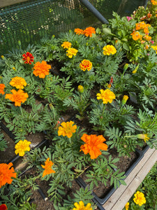 Marigold French