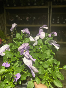 Viola Light Purple