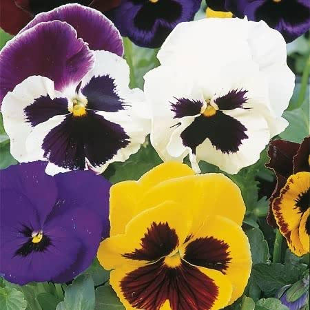Pansy Bright and Beautiful