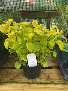 Lemon Balm All Gold