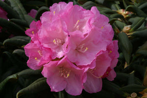 Rhododendron Morning Cloud 10L