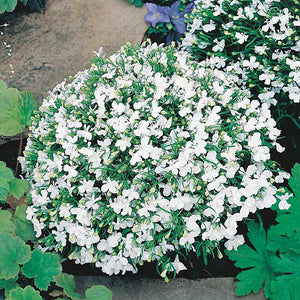 Lobelia Trailing White