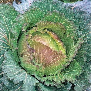 Cabbage January King