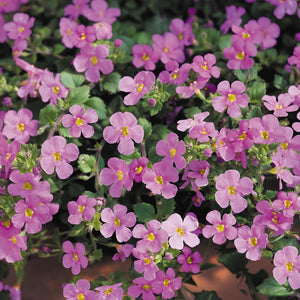 Bacopa - Summer Pink