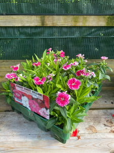 Winter Sweet William - 20 Pack