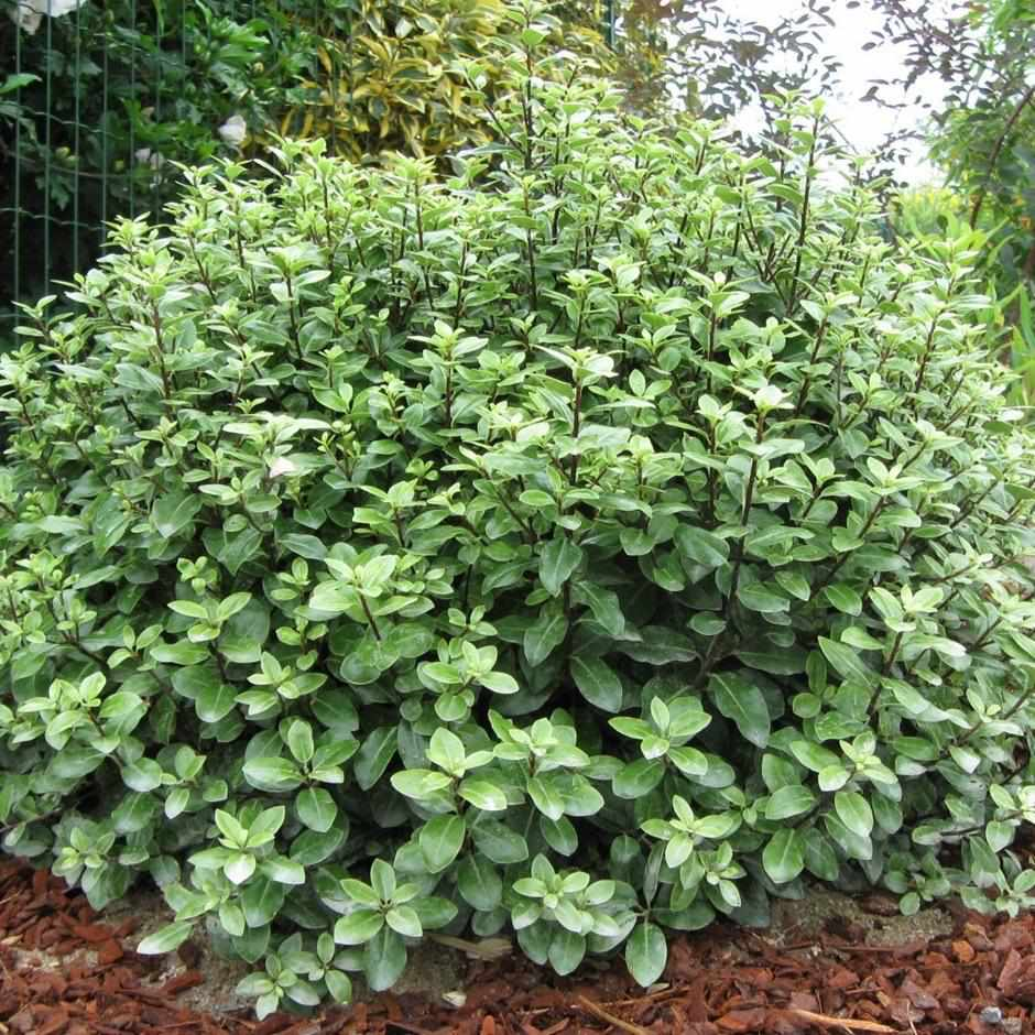 Pittosporum Golf Ball