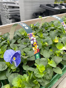 20 Pack - Winter Pansy Mixed