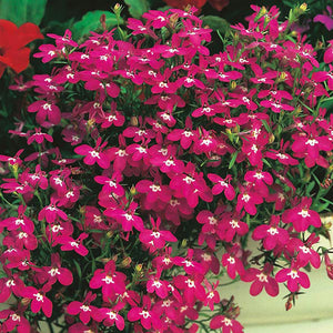 Lobelia Compact Red