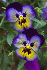 Pansy Purple and Yellow
