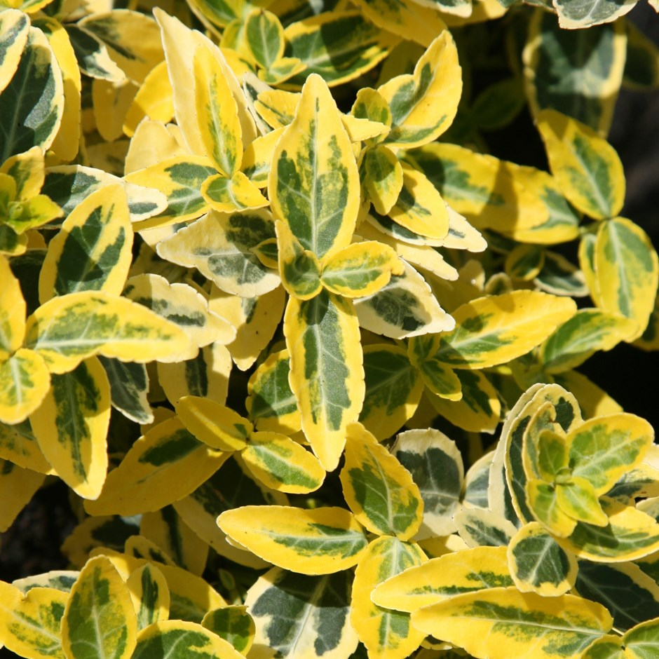 Euonymus Emerald 'n' Gold