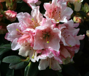 Rhododendron Wee Bee 3L