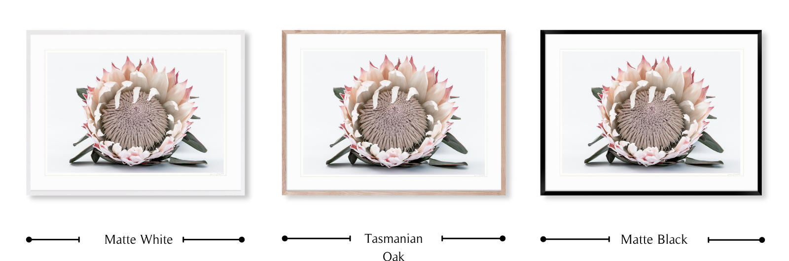 Protea #1 | Fine art wall print By Lauren Daly | Frame colours for LD Art House