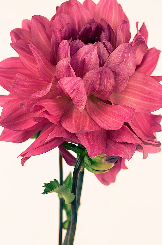 Oh Dahlia #2   Limited edited photographic, floral fine art print for your walls by Lauren Daly