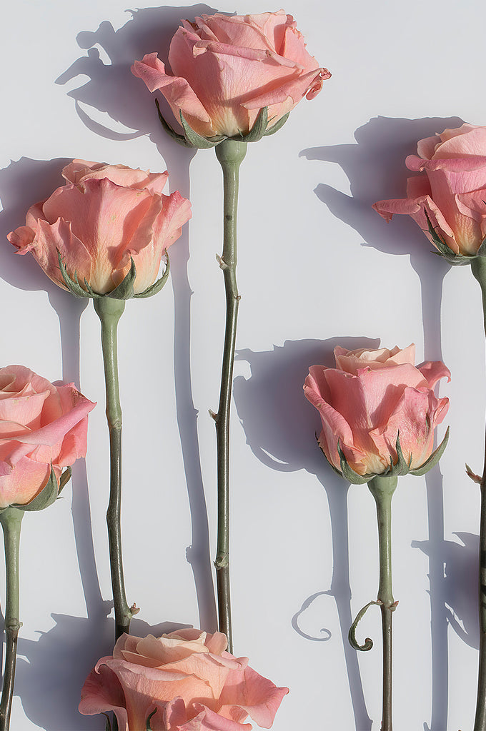 Rose Shadows * Photographic floral interior wall art print by Lauren Daly