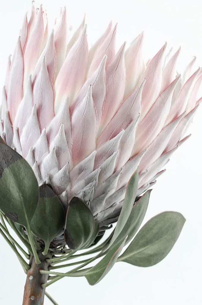 Protea #3   CLASSIC Framing Style   Limited edition photographic, floral fine art print by Lauren Daly