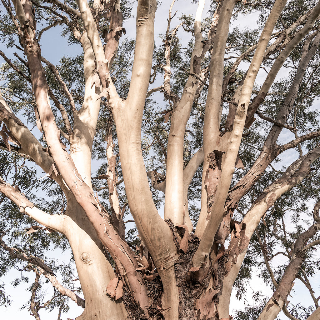 Branching Gum | Limited edition photography fine art print by Lauren Daly