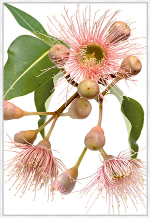 Eucalyptus Dreaming #2 |  Contemporary Australian Gum Flower Canvas Art | Art by Wall Style