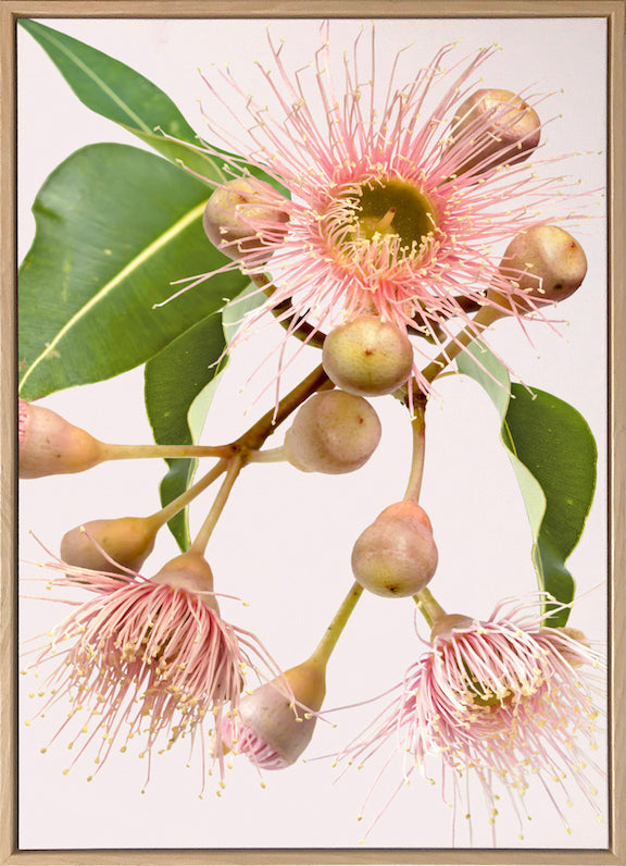 Eucalyptus Dreaming #4 |  Contemporary Australian Gum Flower Canvas Art | Art by Wall Style