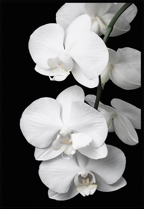 Orchid Bliss #1 Canvas Art | Photographic floral artwork | Wall Style