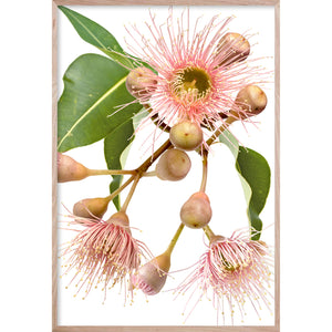 EUCALYPTUS DREAMING #2 * Contemporary Australian Native Botanical Art Print