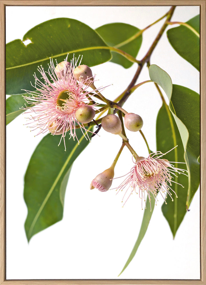 Eucalyptus Dreaming #1 |  Contemporary Australian Gum Flower Canvas Art | Art by Wall Style