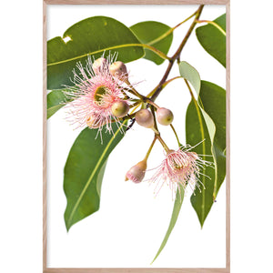 EUCALYPTUS DREAMING #1 * Raw Oak frame, no border * Contemporary Australian Botanical Native Print