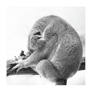 KOALA DREAMING * Contemporary, photographic, fine art print