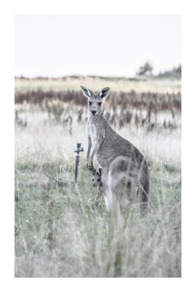 KANGAROO BOND *  Photographic archival, fine art kanagroo print