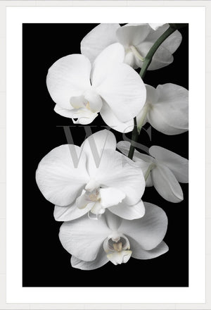 ORCHID BLISS #1 * Contemporary, photographic, fine art print