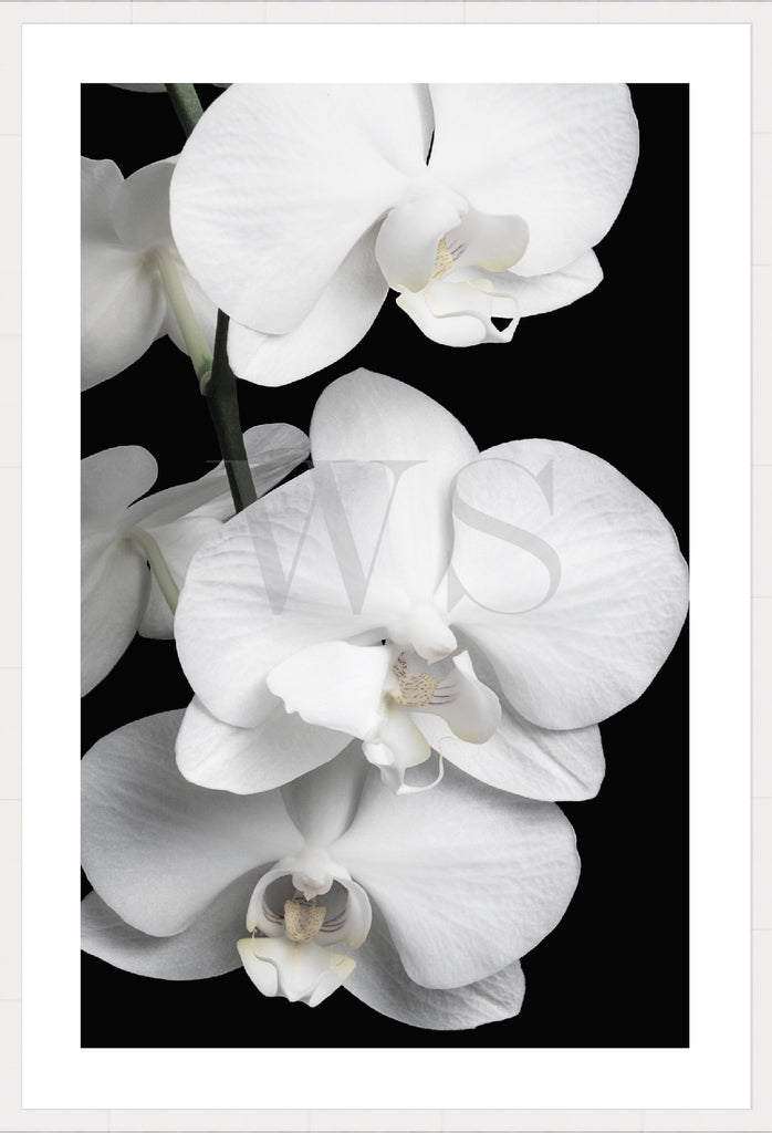 ORCHID BLISS #2 * Contemporary, photographic, fine art print