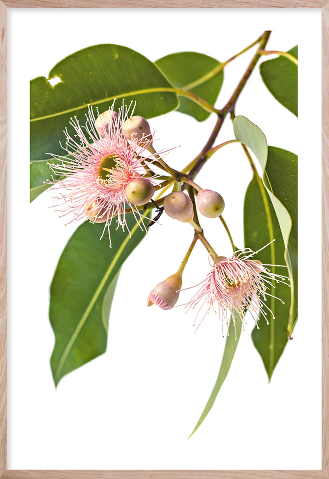 EUCALYPTUS DREAMING #1 * Raw Oak Frame, White border * Contemporary Australian Botanical Print