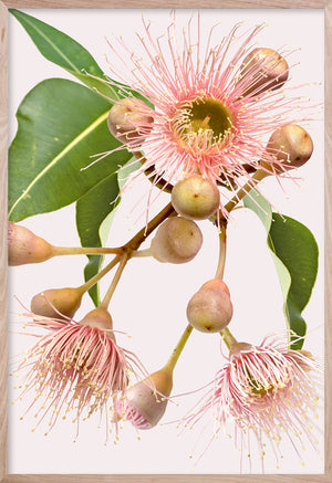 EUCALYPTUS DREAMING #4 * Contemporary Australian Native Botanical Art Print