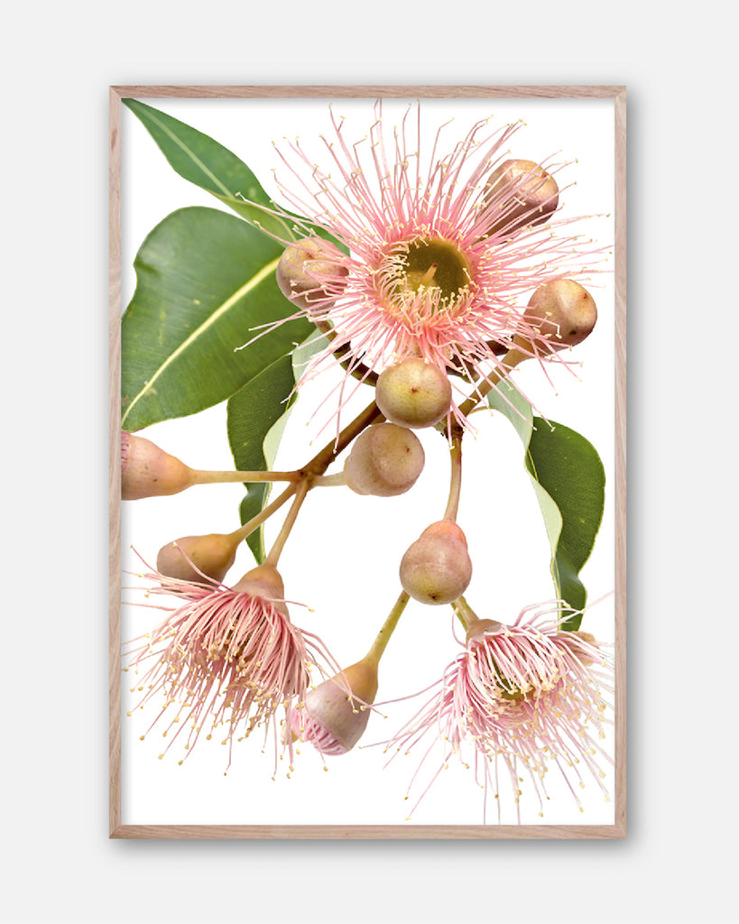 EUCALYPTUS DREAMING #2 * Contemporary Australian Botanical Art Print
